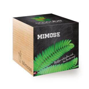 Mimose ecocube, Pflanze im Holzwürfel